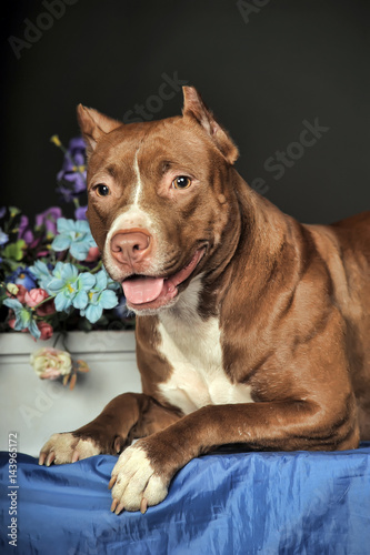 Pit Bull Terrier in studio with flowers Plakát