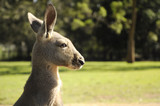 australian national symbol