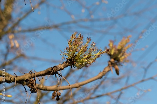 tree branch with young leaves in spring Poster