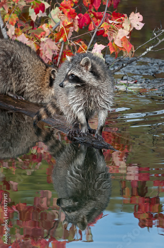 Raccoon (Procyon lotor) Looks Left at End of Log