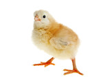 Little yellow chicken isolated on a white background