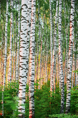 summer in sunny birch forest - 143985991