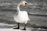 white swan at winter