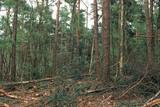 Pine tree forest with fresh springtime foliage.