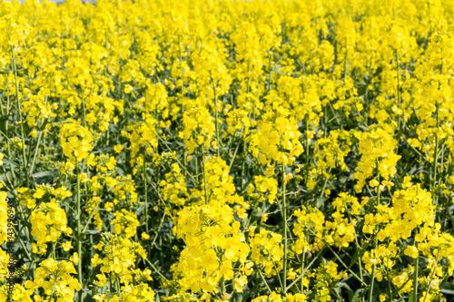 Canola/Oilseed Rape Field