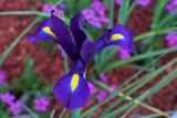 Japanese Iris purple 1