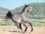 running grey arabian filly