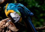 Blue and Gold Macaw Acting Friendly