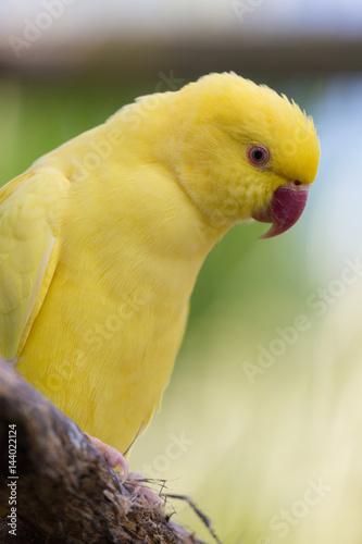 Gelber Papageien Vogel