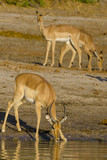 Impala (Aepyceros melampus) herd drinking in the Chobe River. Botswana - 144038561
