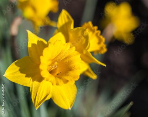 zbliżenie kwiatów żonkila w Skagit Valley Washington
