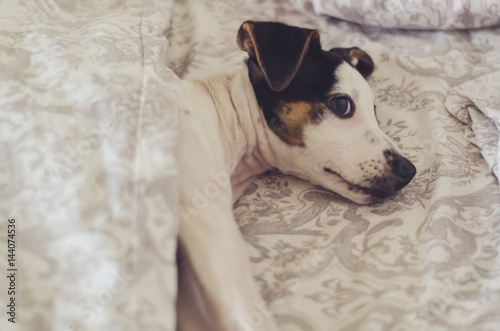 A little parson russell terrier puppy is lying on the bed, good morning concept