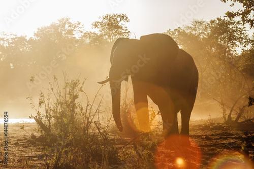 Poster African bush elephant in Kruger National park, South Africa
