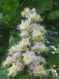 fiore di ippocastano  - 144081132