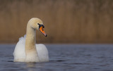 Mute Swan - Cygnus olor ar a small lake in spring