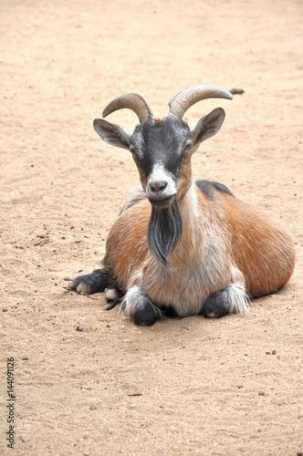 Poster la chèvre