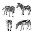 Set of zebra, vector illustration. Wild animal texture. Striped black and gray., isolated on white background.