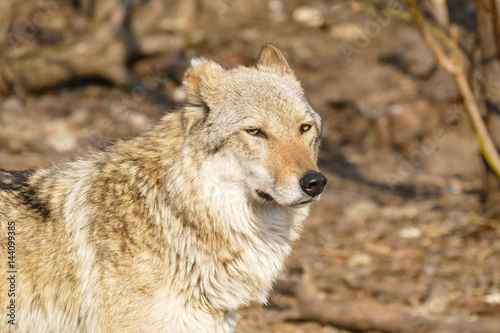 Wolf steppe Poster