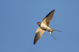 Swallow in flight over blue sky - 144104502