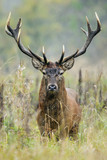 Red Deer in natural environment