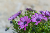 purple and pink Gerbera Daisy flower (Gerbera jamesonii) with green leaves as background in Matera, Italy
