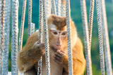 Portrait of monkeys living in the temple of the Big Buddha in Phuket. Thailand.
