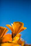 California poppy against blue sky