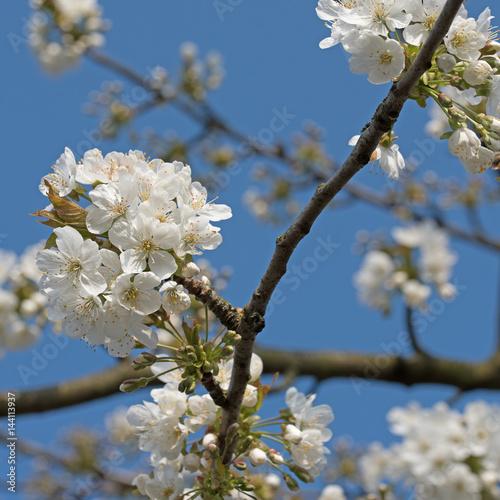 Blühender Kirschbaum, Prunus avium Poster