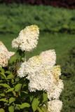Blooming cultivar Hydrangea paniculata