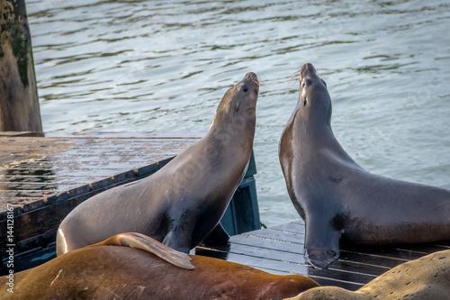 Poster Sea Lions of Pier 39 at Fishermans Wharf - San Francisco, California, USA