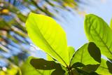 plumeria frangipani fresh green leaves