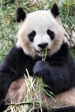 Adult Giant Panda eating bamboo, Chengdu China