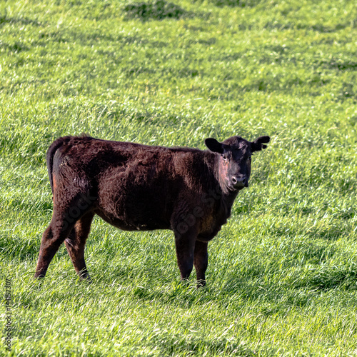 Angus heifer - square Poster