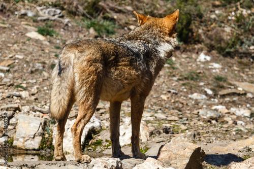 Lobo Ibérico. Canis lupus signatus. Poster