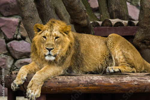 The Asiatic lion rests and looks forward. Poster