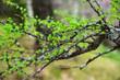 Larch branch in spring
