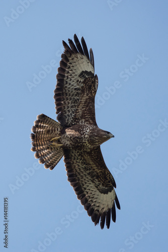 Common Buzzard, Buteo buteo Poster
