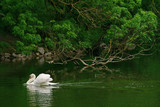 White swan in a river, pond.