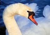 A close up of a Mute Swan in the evening sunlight, England, UK.
