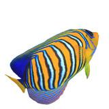 Regal Angelfish fish isolated on white background