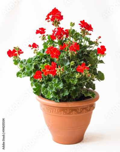Rote, prächtig bühende Geranie - Pelargonium Zonale