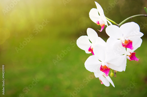 white-orchid-flowers-in-the-garden