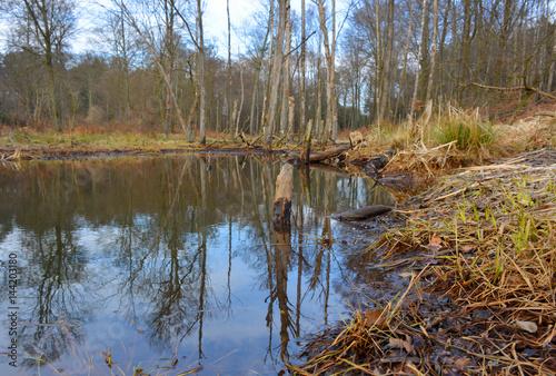Teich Biotop mit Bieberspuren am Holz Poster