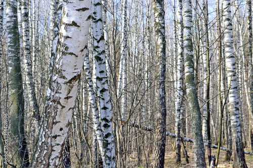 Birch grove in early spring background