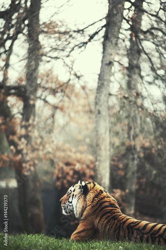 Poster Wild tiger