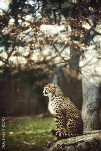 Stampa su Tela Wild Cheetah