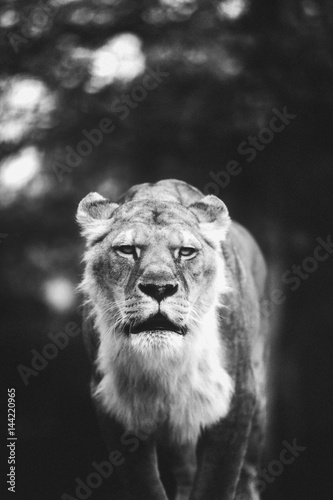 Poster Wild lion