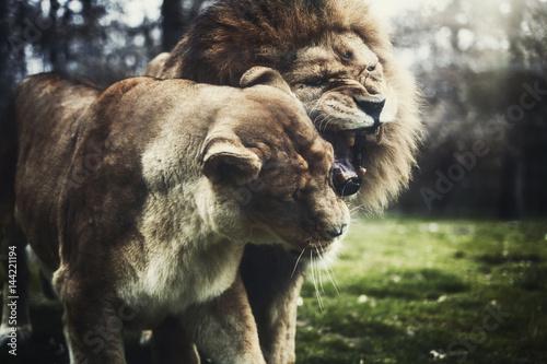 Poster Love lion