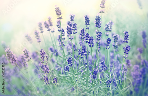Fotobehang Lavendel Soft focus on beautiful lavender in flower garden