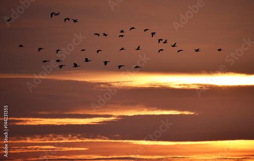 Gänse bei Sonnenaufgang Poster